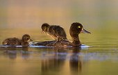 Female Tufted Duck swimming with a young on the back - GB