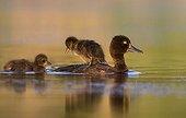 Fuligule morillon femelle nageant avec petit sur le dos - GB