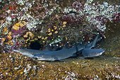 Whitetip Reef Shark resting in Cave - Roca Partida Mexico