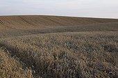 Wheat Field mature in summer