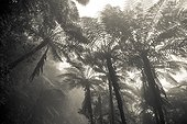 Tree ferns in mist - Massif de l'Aoupinié New Caledonia