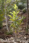 Revegetation in mining scrub - New Caledonia