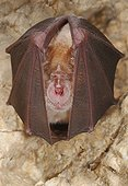 Greater horseshoe bat hibernation - Lorraine France