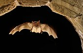 Greater Mouse-eared Bat night flight - France