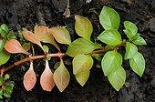 Foliage Hampshire-purslane - Sologne France