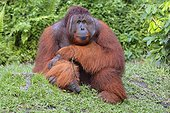 Orang-utan sitting male - Kalimantan Indonesia