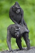 Celebes Crested Macaque mating - Tangkoko Indonesia