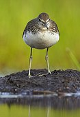 Green Sandpiper posing on mudflat - Finland