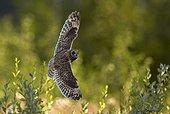 Short-eared Owl in flight - Finland