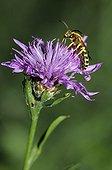 Mining Bee on Knapweed flower - Vosges du Nord France