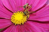 Mining Bees on Cosmos flower - Vosges du Nord France