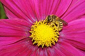 Mining Bee on Cosmos flower - Vosges du Nord France