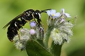 Abeille masquée sur fleur de Myosotis -Vosges du Nord France