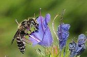 Osmie crochue sur fleur de Vipérine - Vosges du Nord France