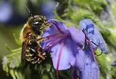 Osmie doréee sur fleur de Vipérine - Vosges du Nord France