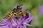European Beewolf catching a honeybee - Vosges France