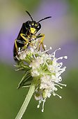 Mint Sawfly on flowers - Vosges du Nord France