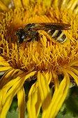Mining Bee on flower - Pays de la Loire France