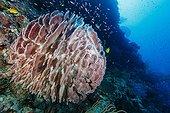 Barrel Sponge - Tubbataha Reef Philippines