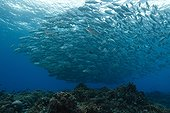 Bigeye Trevally school - Tubbataha Reef Philippines