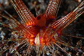 Red sea urchin on reef - Dauin Philippines