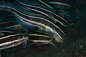 Striped Catfishes  - Dauin Philippines
