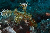 Harlequin ghostpipe fish  - Dauin Philippines
