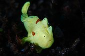Commerson's Frogfish in reef - Dauin Philippines