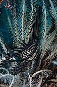 Batfish hidden in a feather star - Dauin Philippines