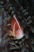 Pink Anemonefish in Sea Anemone - Dauin Philippines