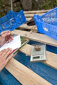 Weighing Brown Gardensnail Livestock - France