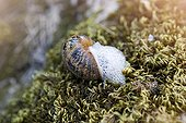 Brown Gardensnail drooling on moss - France