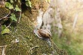 Brown Gardensnail crawling on moss - France
