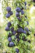 Plum tree 'Red Crunch' in fruit in a garden