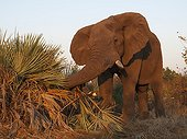 African Elephant destroys Lala Palm - Kruger South Africa