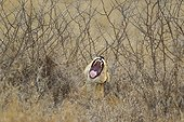 Lioness yawning in thick thornbushes- Kruger South Africa