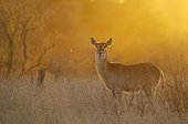 Common Waterbuck female at sunset - Kruger South Africa