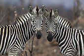 Zèbres de plaine dans savane brulée - Kruger Afrique du Sud