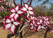 Impala Lily flowers - Kruger South Africa ; Succulent shrub whose toxic latex is used for fish and arrow poison