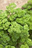 Flat parsley in a kitchen garden