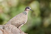 Spotted Dove on a rock- Oahu Hawaii