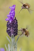 Large Bee Fly and French lavander - Massif des Maures France