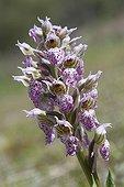 Milky Orchid flowers - Massif des Maures France