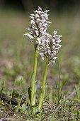 Orchis couleur de lait en fleurs - Plaine des Maures France