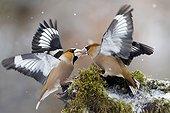 Fight Hawfinch in winter - Lorraine France