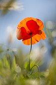 Popy flower at spring - France