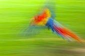 Scarlet Macaw in flight - Costa Rica