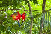Scarlet macaws hanging on a branch - Costa Rica