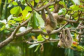 Brown-throated Three-toed Sloth hanging on branch-Costa Rica