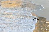 Manchot du Cap dans l'écume - Boulders Beach  Afrique du Sud